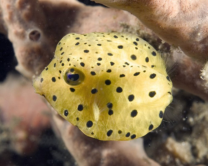 Fish hits photos puffer fish photos for What is a puffer fish