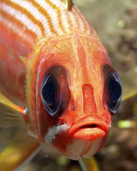 Cloud king david da costa squirrelfish for Big eye squirrel fish